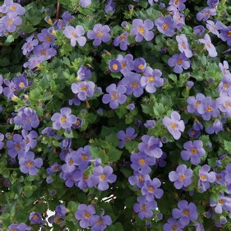 purple bacopa bacopa in the garden pinterest