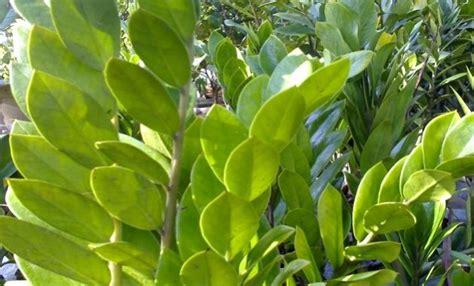 hoax tanaman hias penyebab leukimia turnbackhoax