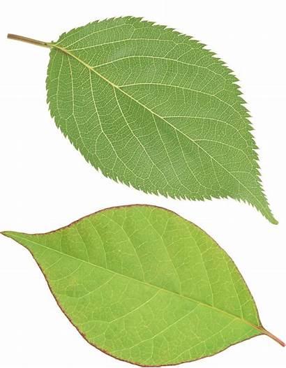 Leaves Leaf Clipart Single Leave Transparent Cherry