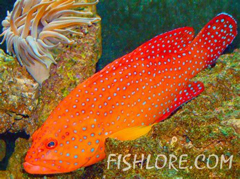 coral grouper tank span breeding