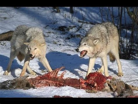 wolf pack hunting youtube