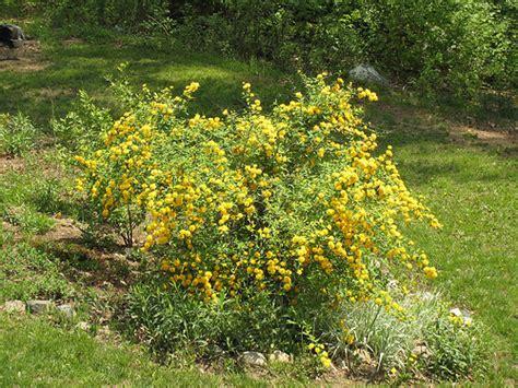 yellow blooming bushes yellow flowering bush flickr photo sharing