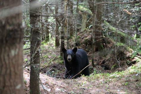 bears maine bear waldo northwestern coming county