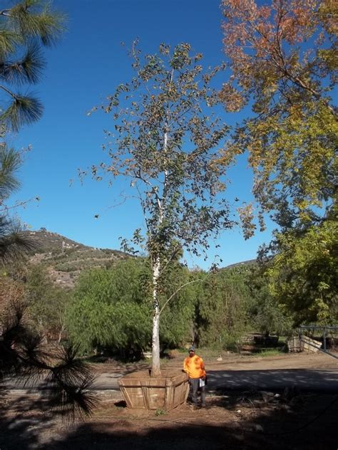 platanus racemosa california sycamore big trees nursery