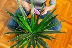 Kentia Palme Braune Blätter : yucca palme hat trockene bl tter ursachen und ma nahmen palmlilie ~ Watch28wear.com Haus und Dekorationen