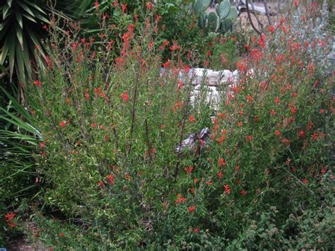 hill country mysteries hummingbird bush anisacanthus