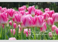 Quotes About Tulips QuotesGram