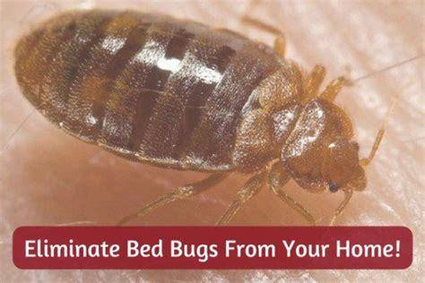 Rid Of Bed Bugs by 12 Easy Diy Ways To Get Rid Of Bed Bugs Quickly A