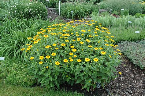 tuscan plants tuscan sun false sunflower heliopsis helianthoides tuscan sun in pittsburgh cecil