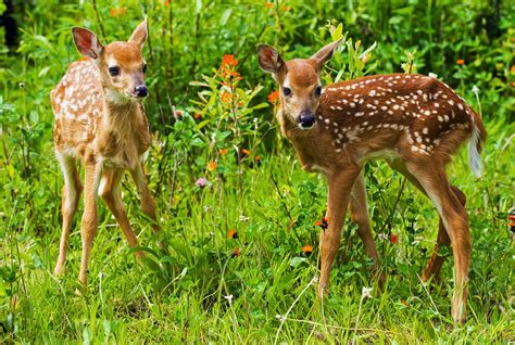 Animal Deer Wallpaper - baby deer wallpapers baby animals
