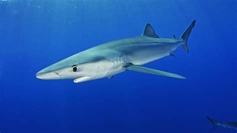 mallorca weißer hai mallorca hai schwimmt in beliebter badebucht bis an den