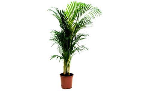 plante verte pour chambre trois plantes à avoir pour un air dépollué