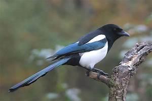 Elster Vogel Vertreiben : elster lbv ~ Lizthompson.info Haus und Dekorationen