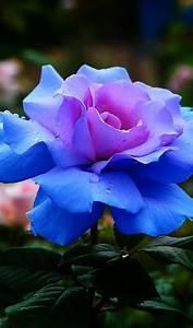 La signification des roses quelle couleur de roses offrir for Quelle couleur avec le bleu 6 la signification des roses quelle couleur de roses offrir