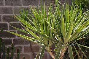 yucca palme pflege der schwertblattrigen grazie With whirlpool garten mit yucca palme zimmerpflanze