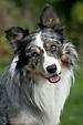 Pin von Soosyn auf Dog | Australische schäferhunde ...