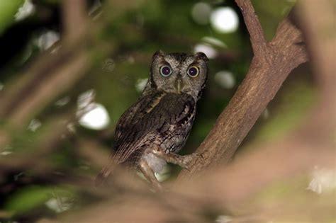 eastern screech owl facts eastern screech owl habitat