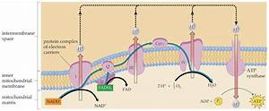 Diagram showing the process of oxidative phosphorylation ...