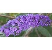 It Is Deep Purple And Shrubs On Pinterest