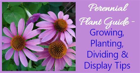 growing perennials   grow perennial plants