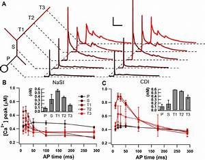 Distance From Soma Affects Calcium Dependence On Ap Timing