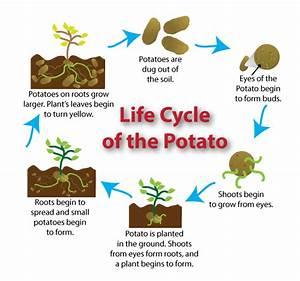 Potato Plant Stages