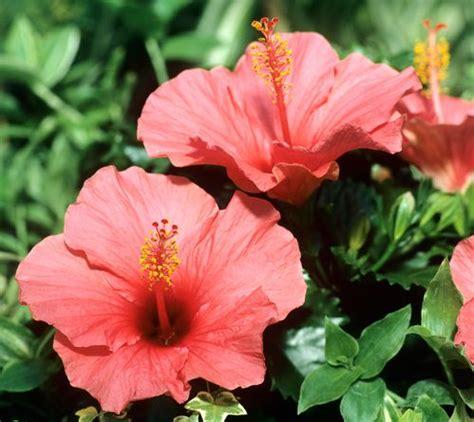 les 25 meilleures id 233 es de la cat 233 gorie hibiscus sur fleurs d hibiscus jardin d