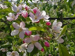 Wann äpfel Ernten : apfelbl te in s dtirol beste zeit suedtirol ~ Lizthompson.info Haus und Dekorationen