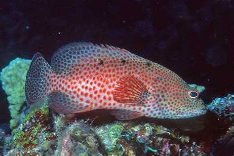 grouper fish saltwater aquarium reef2reef cephalopholis