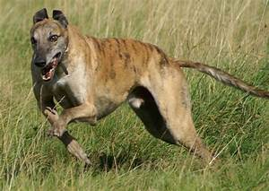 Greyhound Breed Guide - Learn about the Greyhound.