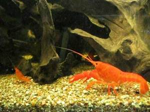Bright Neon orange Crayfish Procambarus clarkii AVI