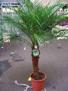 Palmen Für Den Garten : ph nix palmen zwergdattelpalme in berlin pflanzen kaufen und verkaufen ber private ~ Sanjose-hotels-ca.com Haus und Dekorationen