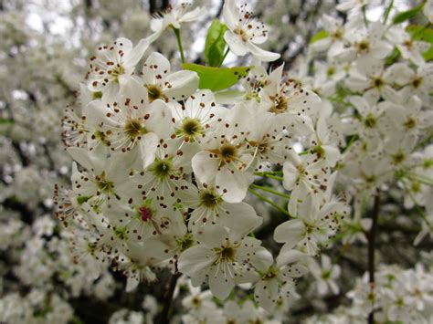 a tree with white flowers file white pear flowers macro tree west virginia forestwander jpg wikimedia commons