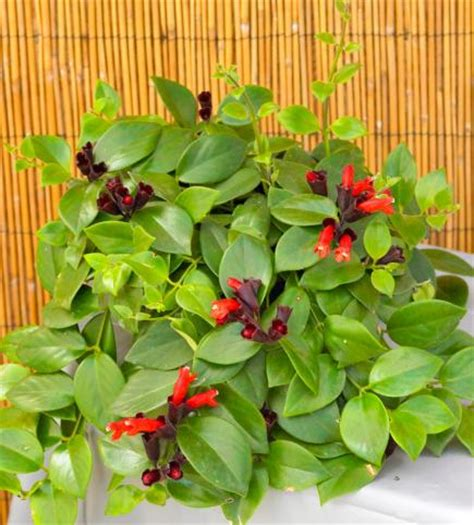 lipstick plant care indoors 10 top flowering houseplants midwest living