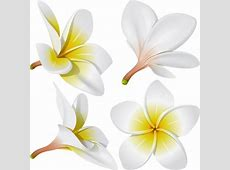 Free frangipani flower vectors free vector download