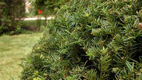 yew bush yew shrubs toxic taxus poisonous plants