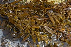 Brown seaweed | I don't know enough about brown seaweeds ...