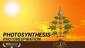 Plant Photorespiration Stages