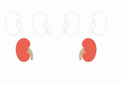 Kidney Svg Shapes Wikimedia Commons