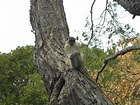 Barbados Green Monkey - Picture of Barbados Excursions ...