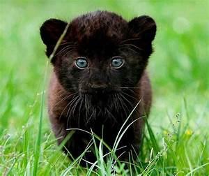 Black Panther baby!   I ♥ Animals (。 ‿ 。)   Pinterest