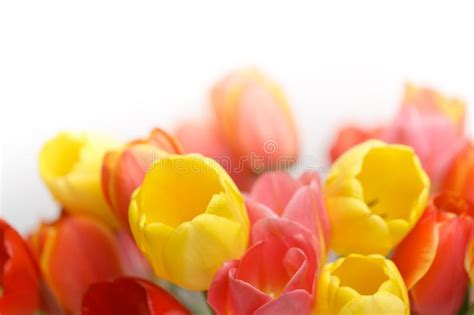 message card  red tulips stock photo image