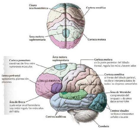 epinefrinared el encefalo humano