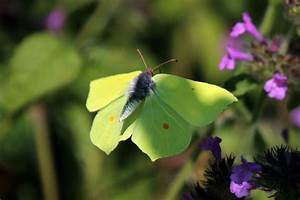 Papillon Citron