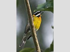National Bird Of Puerto Rico Spindalis 123Countriescom