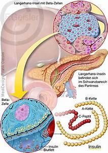 Le pancréas : anatomie et physiologie