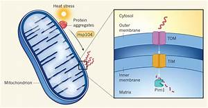 It U2019s Magic  Yeast Mitochondria Make Cytosolic Protein