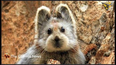 Ili Pikaunbelievably Cute Mammal With Teddy Bear Face