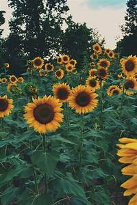 sunflower background | Tumblr