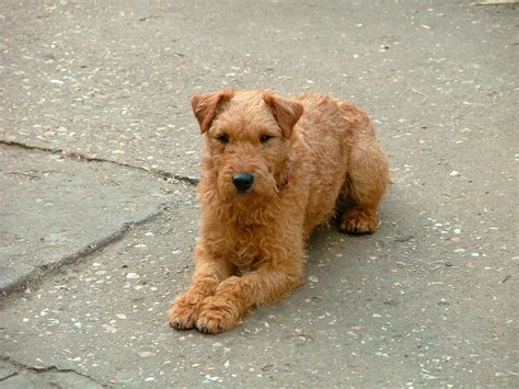 Lakeland Terrier Dog Breed Pictures Information
